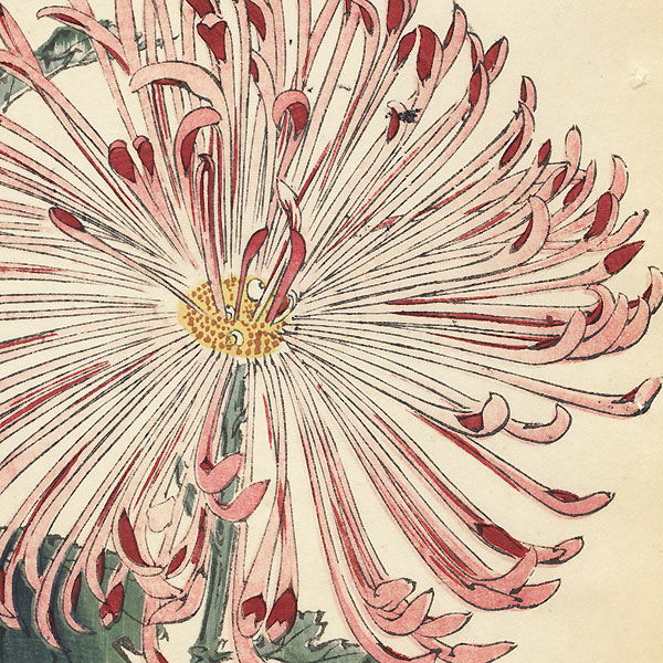 Eight-Petalled Cherry-Blossom Chrysanthemum by Keika Hasegawa (active 1892 - 1905)