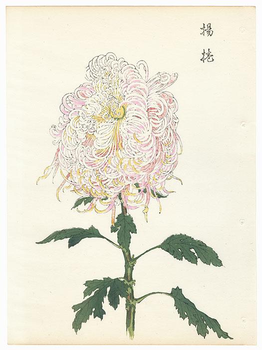 Three-color Chrysanthemum by Keika Hasegawa (active 1892 - 1905)