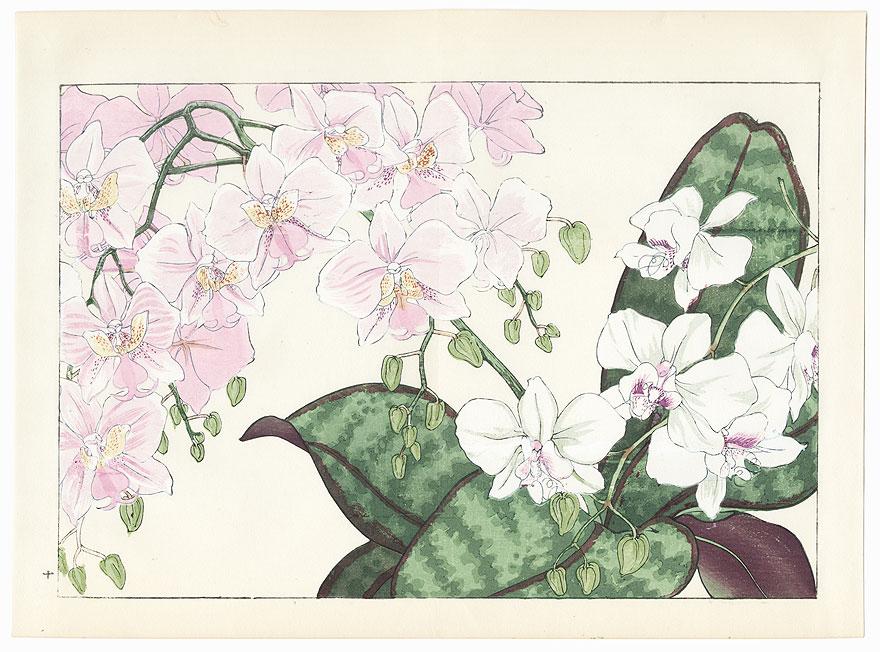 Phalaenopsis Lueddemanniana and Phalaenopsis Schilleriana by Tanigami Konan (1879 - 1928)