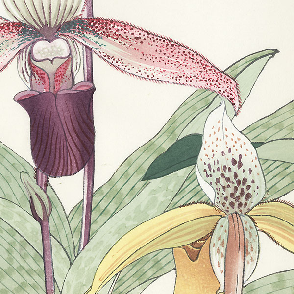 Cypripedium by Tanigami Konan (1879 - 1928)