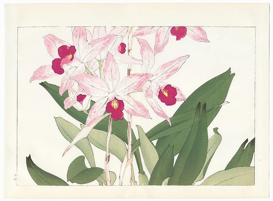 Laelia Anceps by Tanigami Konan (1879 - 1928)
