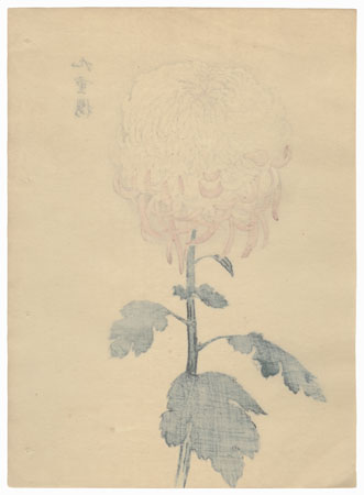 Nine-fold Cherry Blossom Chrysanthemum by Keika Hasegawa (active 1892 - 1905)